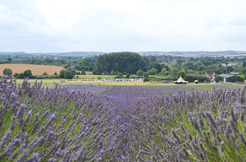 lavender field in england